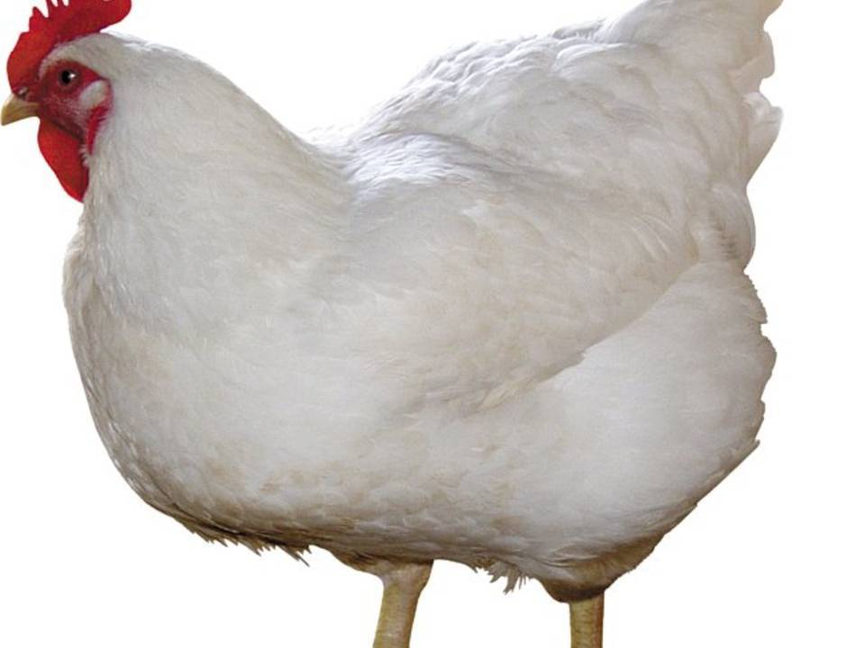 Как избавиться от пероеда у кур
