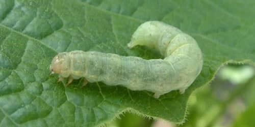 Как избавиться от гусениц на клубнике