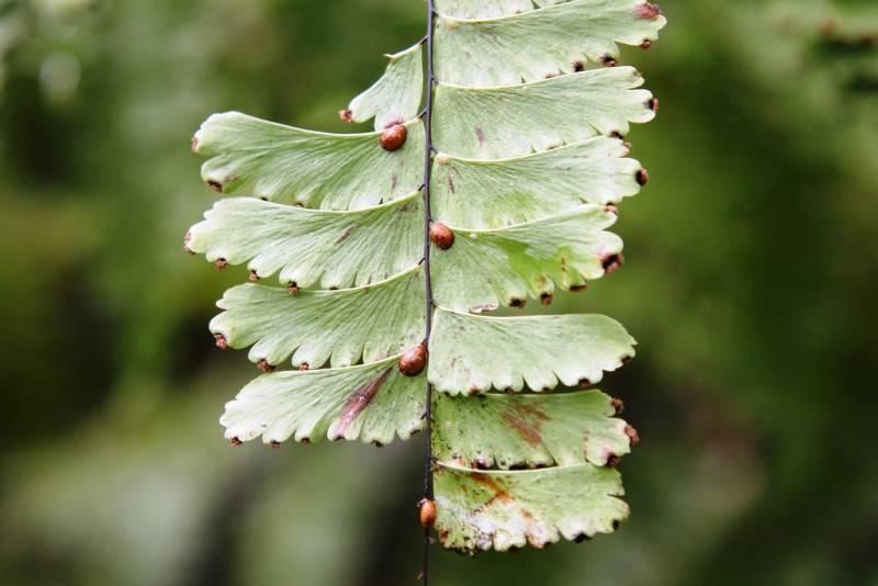 Щитовка калифорнийская – злостный вредитель плодовых деревьев