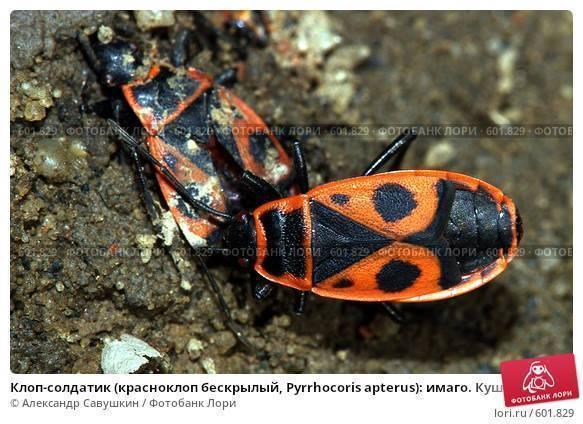 Жизнь и питание красного бескрылого жука солдатика