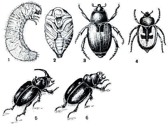 Хлебный жук кузька – злостный пожиратель зерновых культур