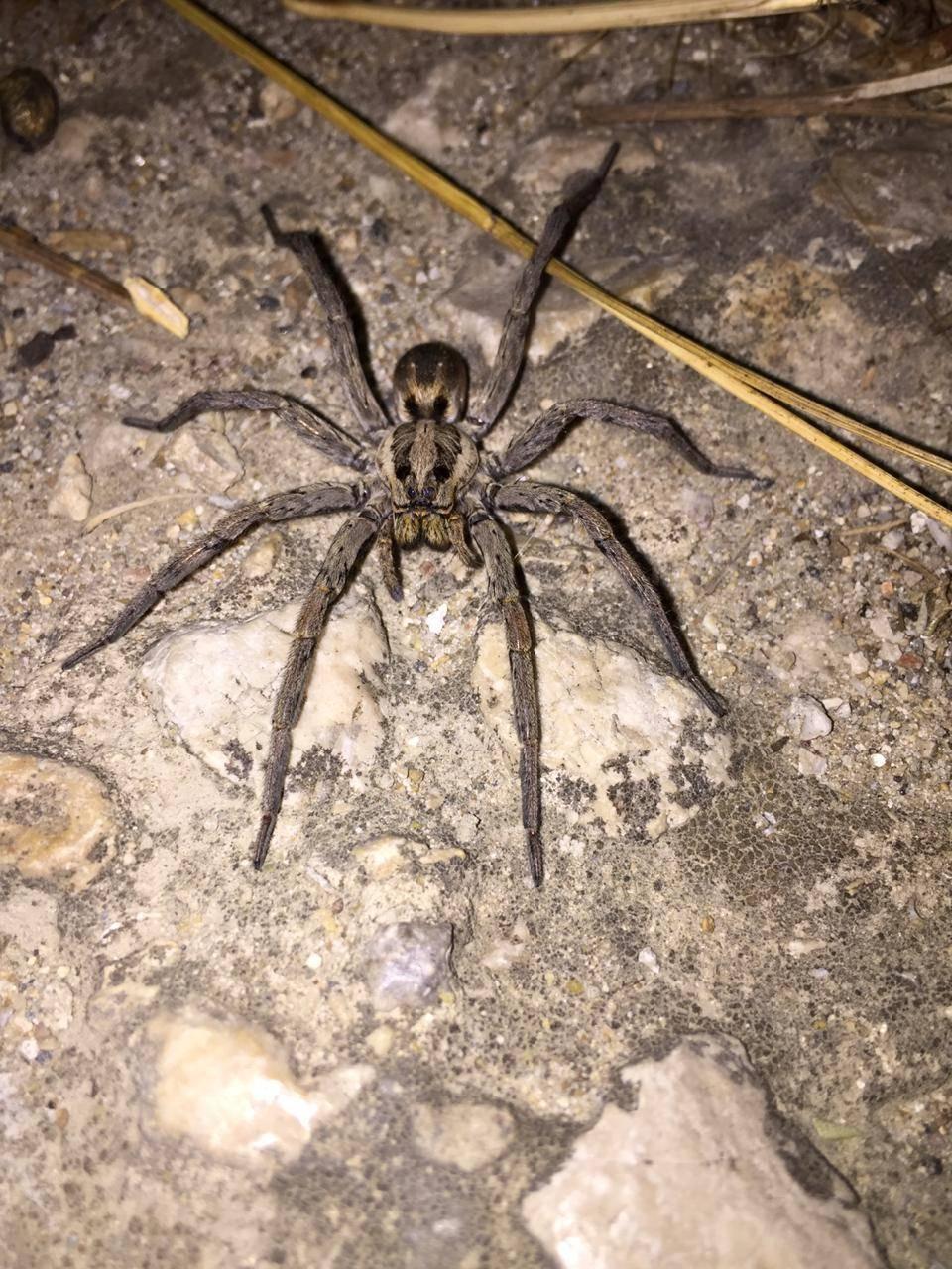 Чем кормить тарантула в домашних условиях. необыкновенный паук тарантул и многообразие его видов. ареал, места обитания