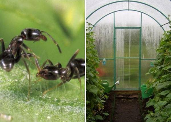 Как избавиться от муравьев на грядке с огурцами