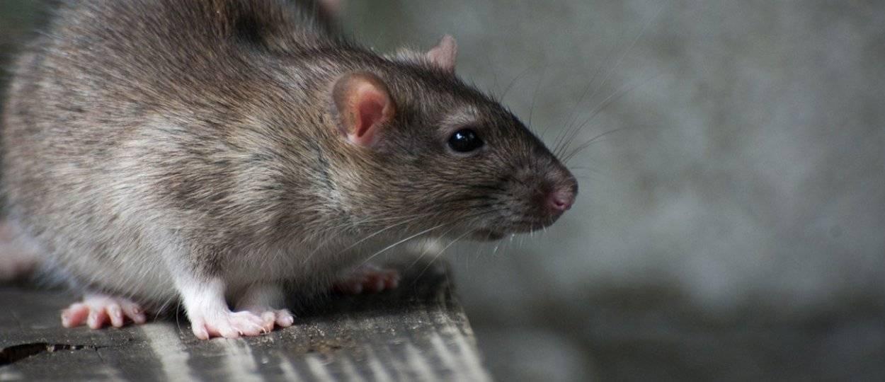 Самая большая крыса на планете