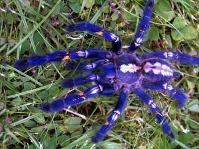 Содержание паука-птицееда дома