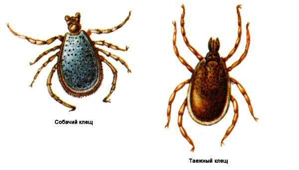 Как размножаются и развиваются иксодовые клещи