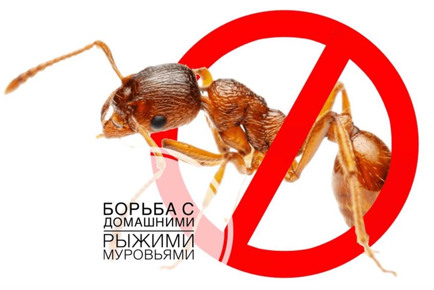 Маленькие рыжие муравьи в доме как появились и как избавиться от них?