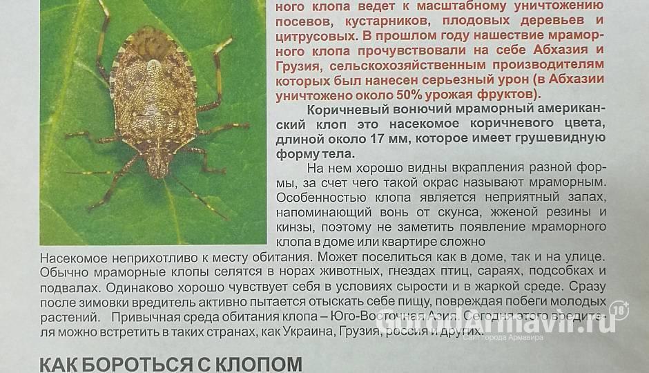 Мраморный клоп – враг сельского хозяйства, эффективные методы борьбы с ним