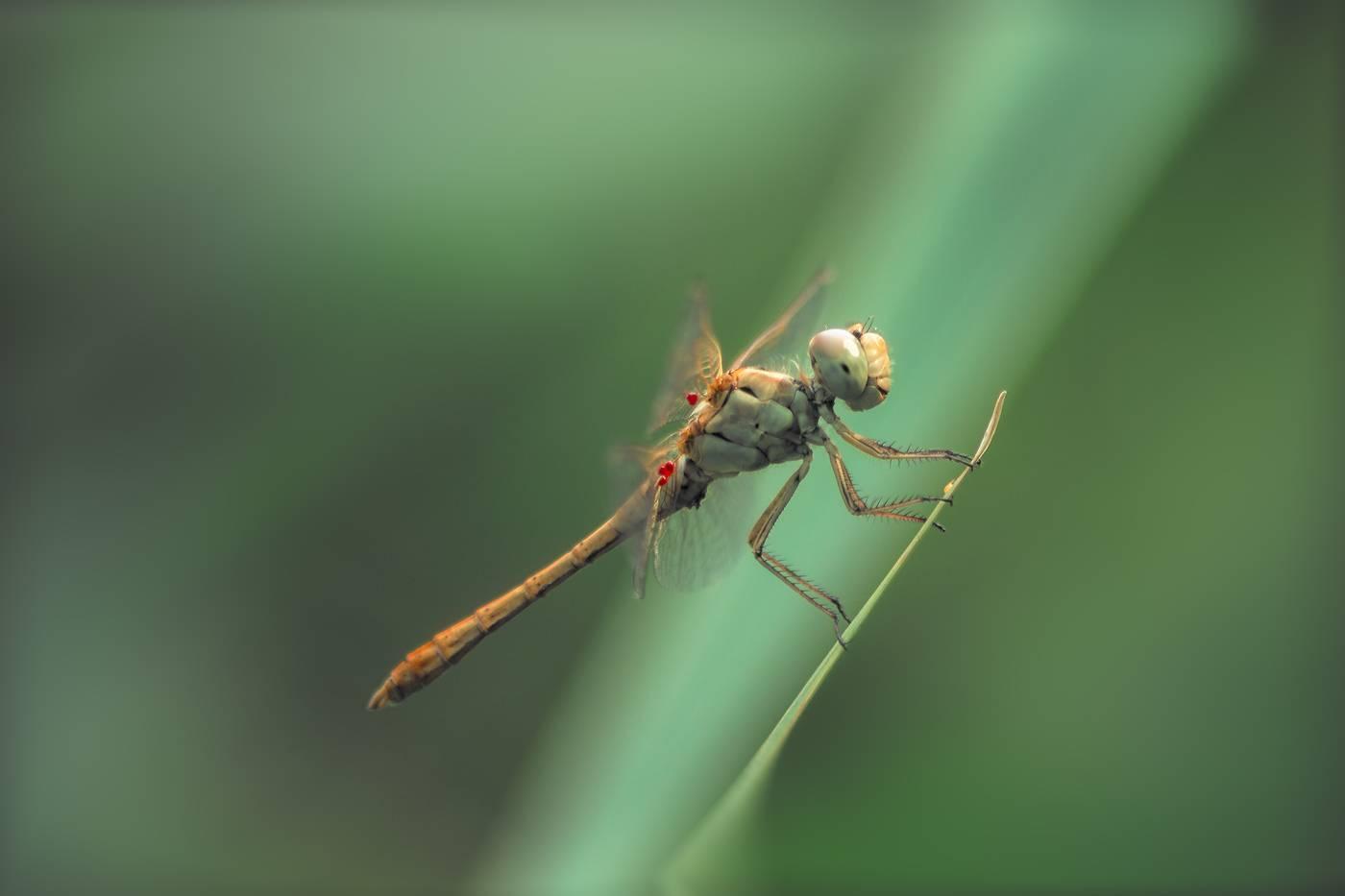 Рыжая стрекоза— плоскобрюхая хищница
