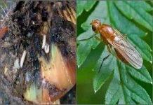 Обработки лука от луковой мухи