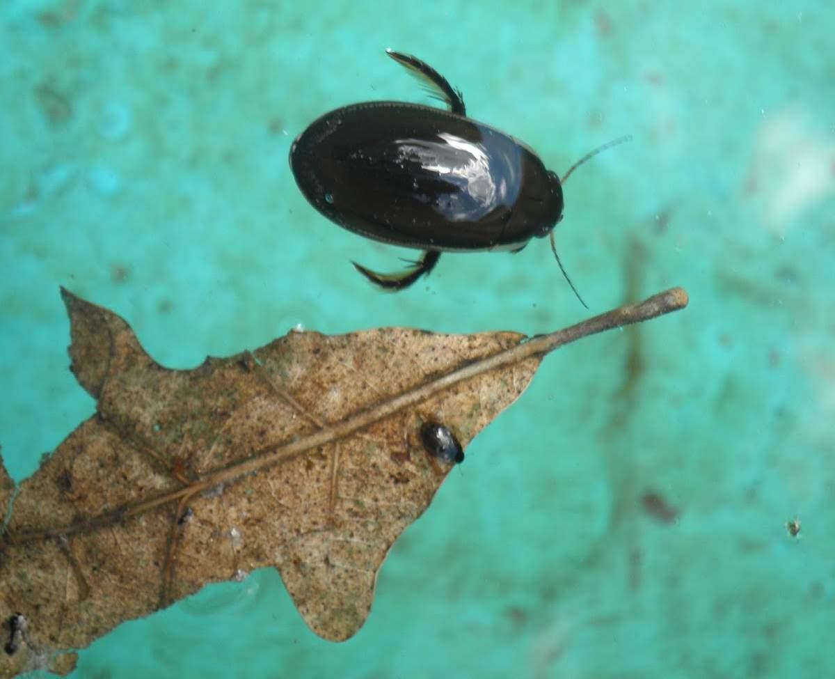 Водолюб большой жук который летает лучше чем плавает
