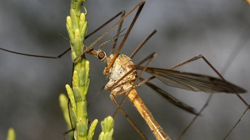 Вредная долгоножка – комар, который угрожает растениям
