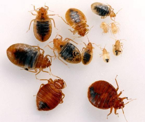 Избавляемся от клопов – все факты о личинках и потомстве