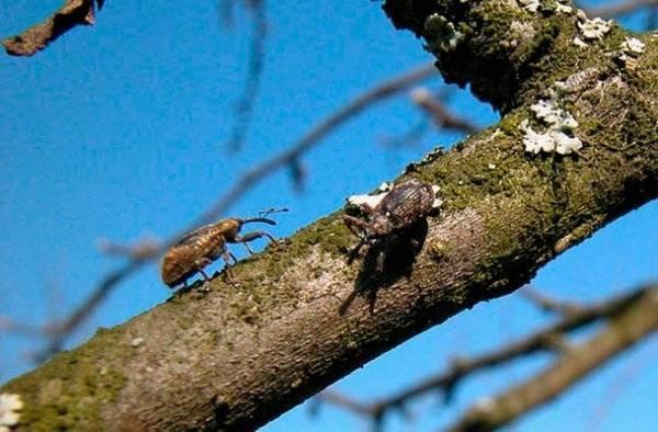 Какой вред может нанести цветоед яблоневый и как с ним бороться