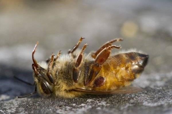 Эффективные методы решения проблемы варроатоза пчел