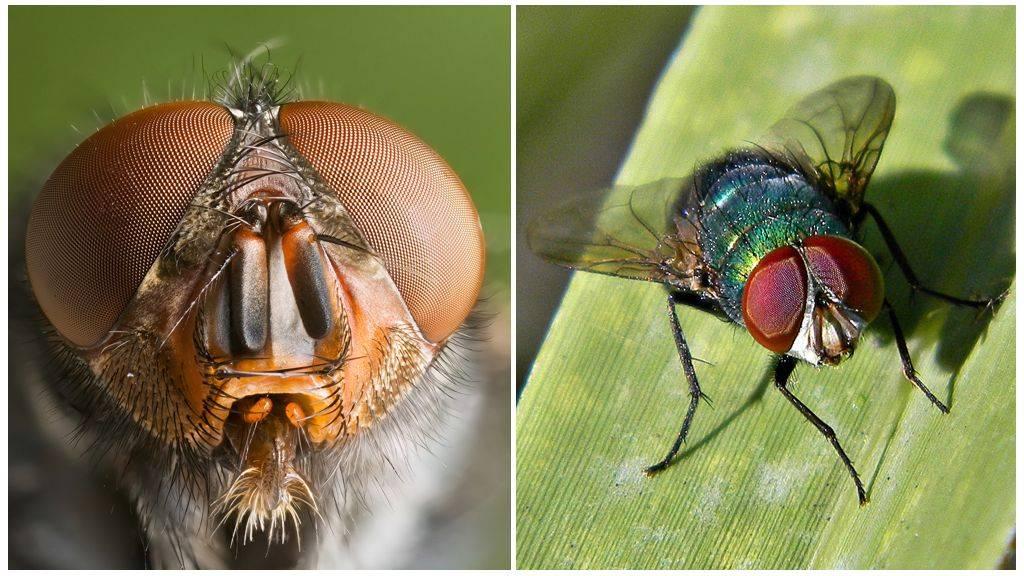 Сколько глаз у обыкновенной мухи?