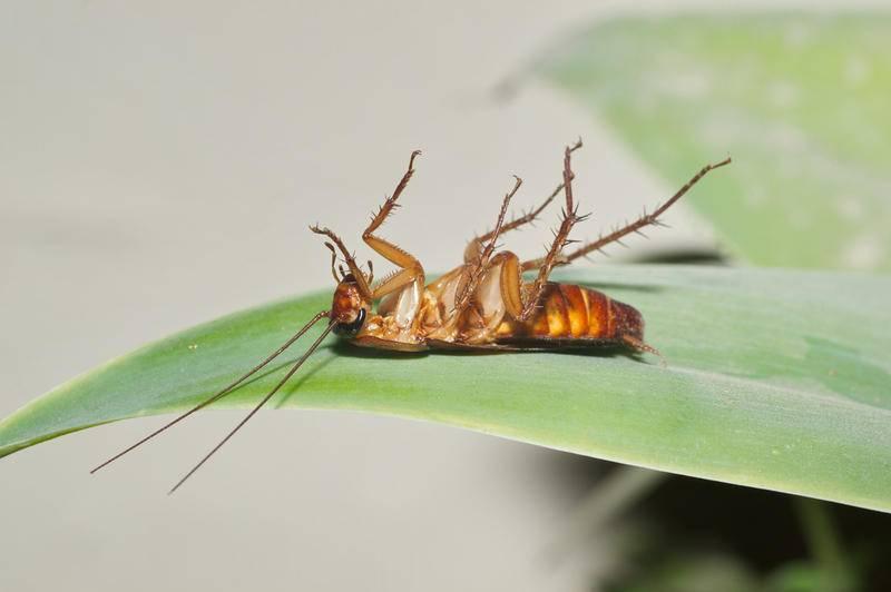 На пути к красной книге: куда деваются тараканы из квартир больших городов? 10 вероятных причин почему исчезли эти насекомые