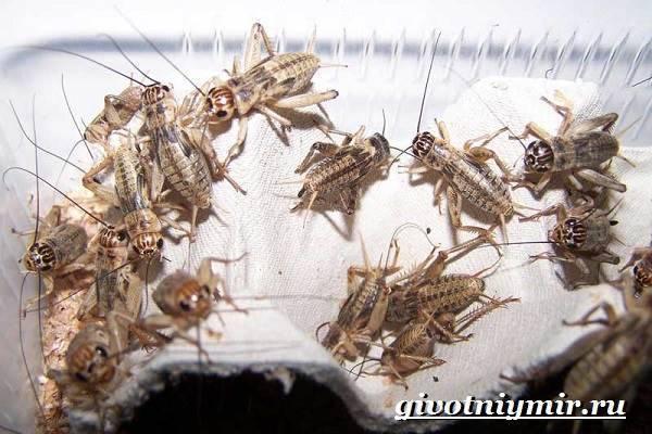 Тараканы как корм. разведение домашних тараканов на корм домашним животным. при каких условиях размножаются тараканы в квартире
