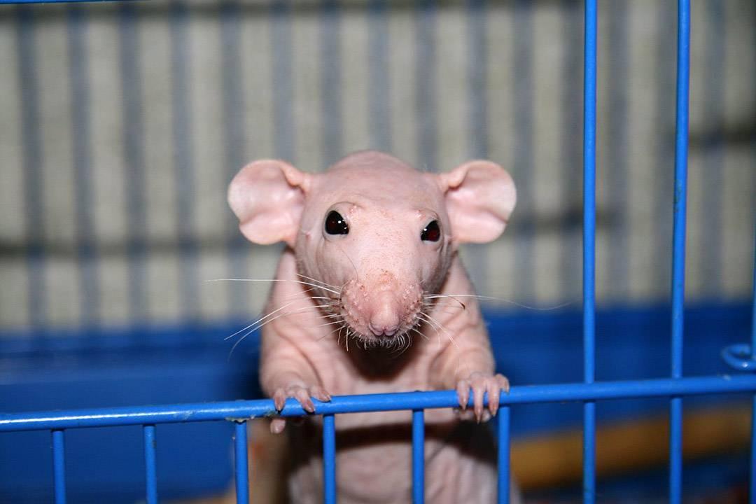 Сколько лет живут декоративные крысы в домашних условиях?