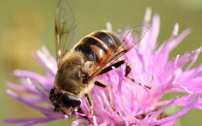 Журчалка – самая необыкновенная муха