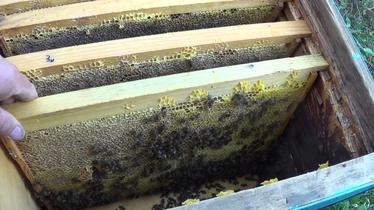 Как зимуют пчелы?