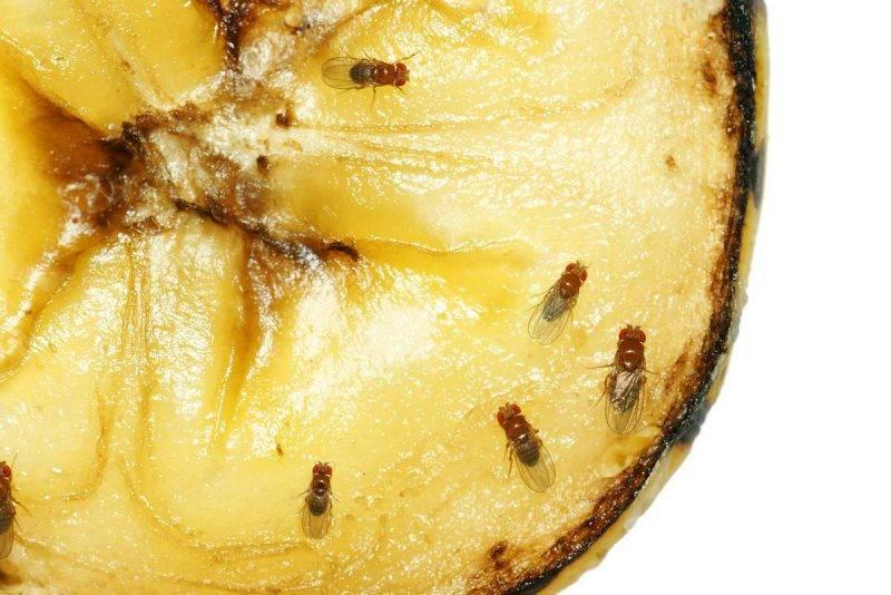Откуда берутся мошки на фруктах при хранении дома