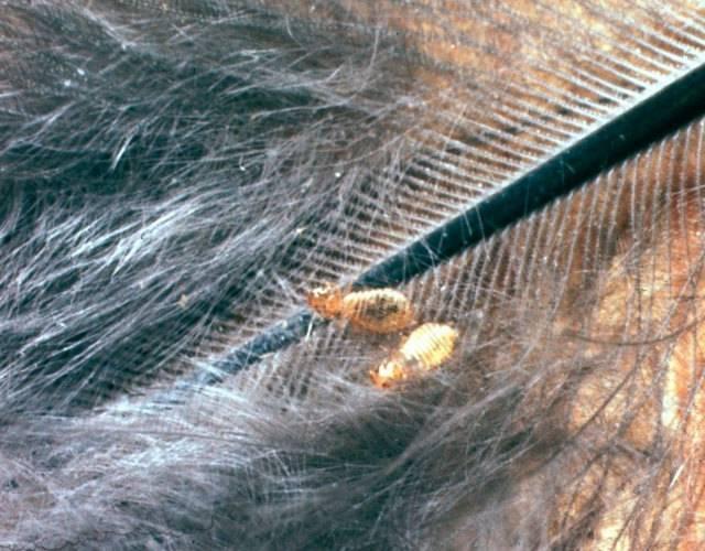 Пухоеды и пероеды у кур — как избавиться от пухопероеда?