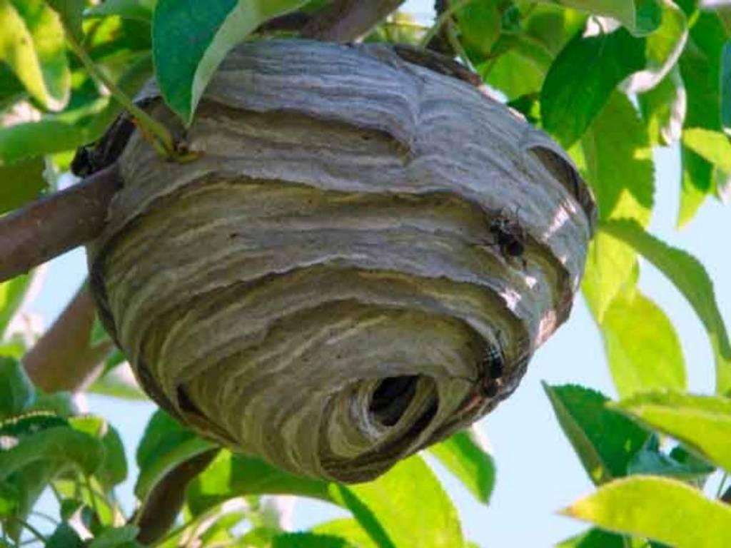 Простые и эффективные способы, как избавиться от осиного гнезда