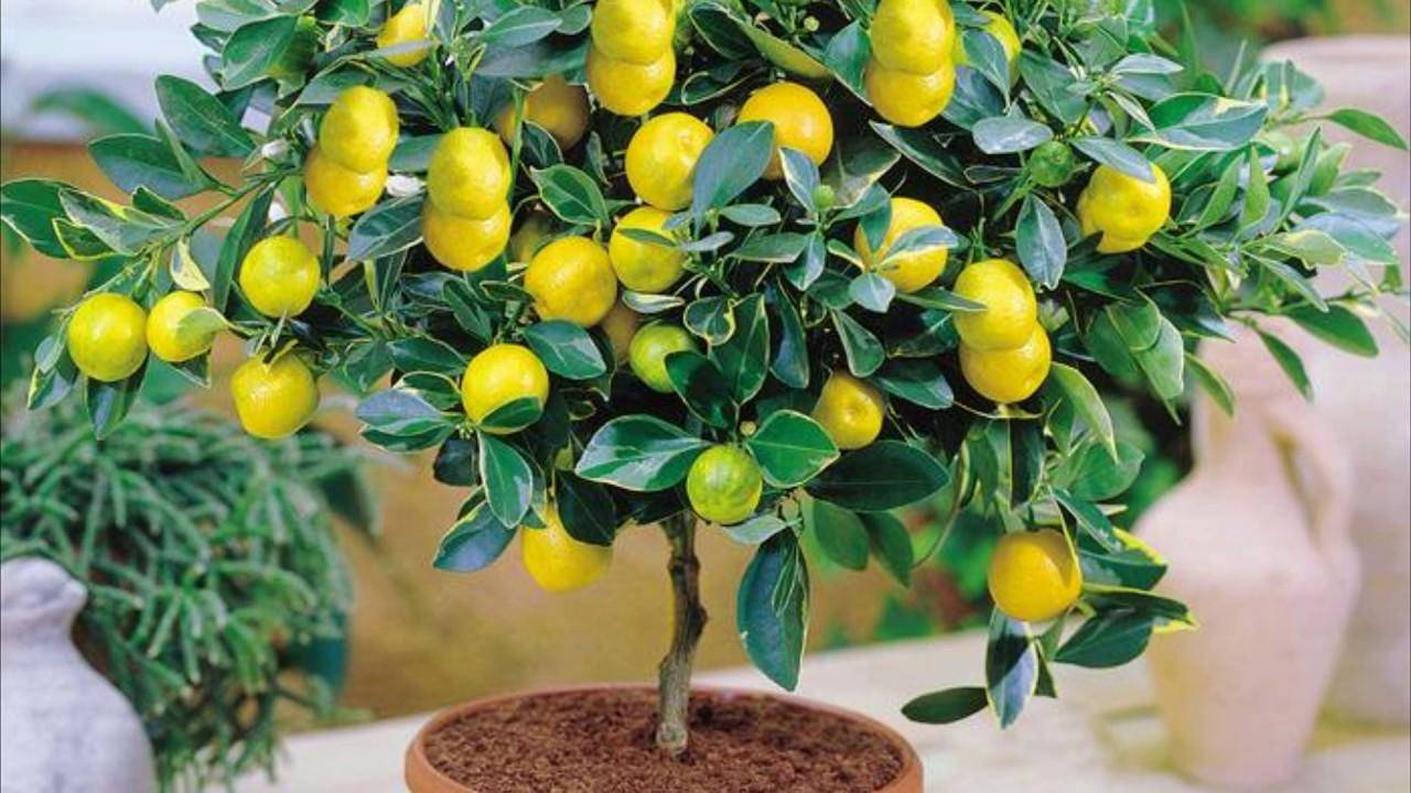 Методы борьбы с щитовкой на лимоне