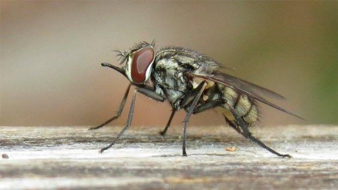 Самая большая муха в мире