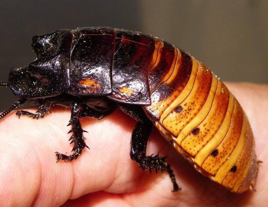 Мадагаскарский таракан: описание насекомого и особенности содержания