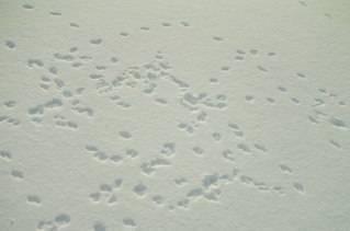 Как распознать след медведя в лесу на грунте и на снегу
