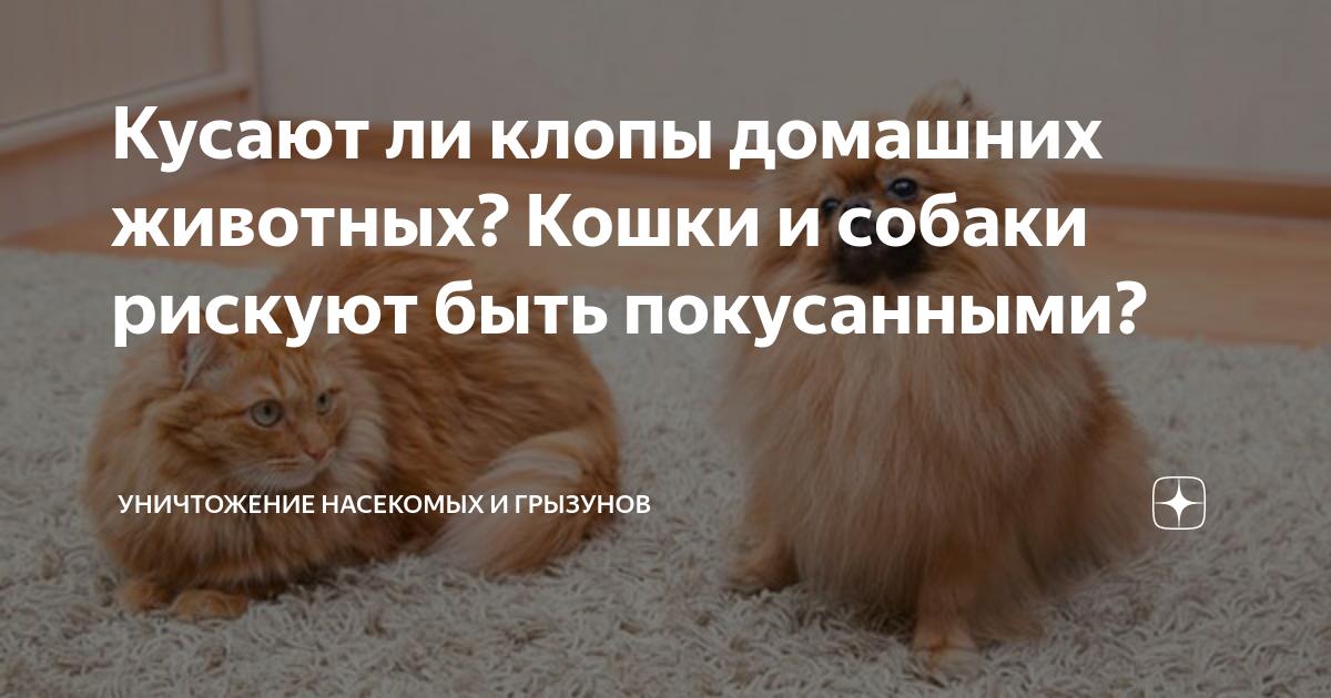 Кусают ли постельные клопы пушистых кошек и длинношерстых собак?