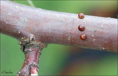 Как и чем бороться с галловым клещом на груше
