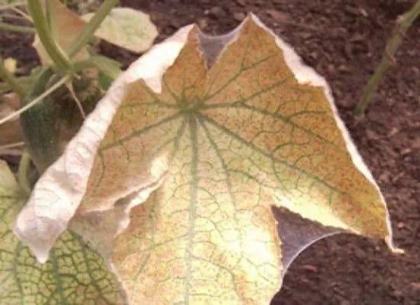 Чем обработать теплицу осенью от паутинного клеща