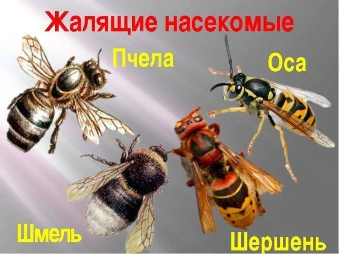 Японский огромный шершень. смертоносный японский шершень - насекомое, вселяющее ужас