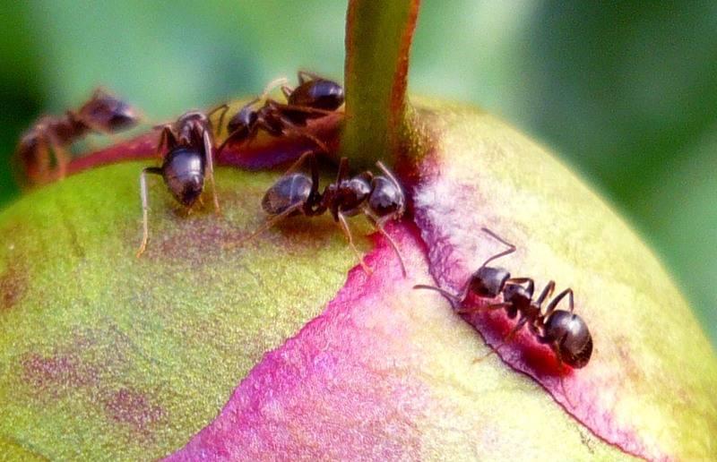 Чем обработать пионы от муравьев, народные средства