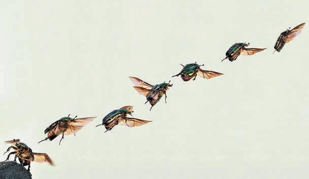 Пестряк пчелиный – враг медоносных пчел