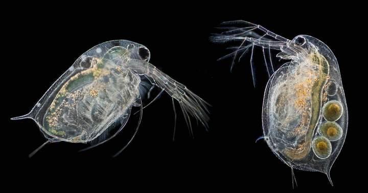 Описание и фото водяных блох