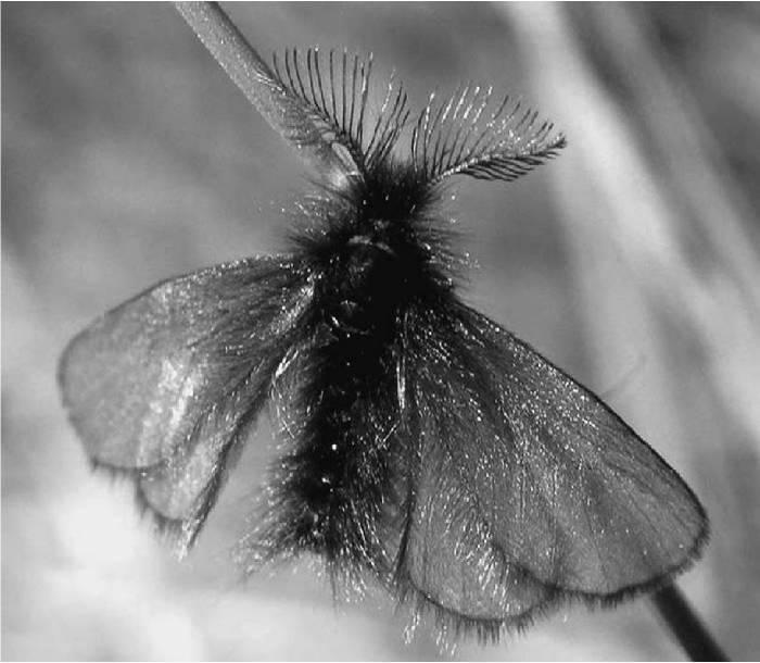 Бабочка зорька: фото, виды и образ жизни