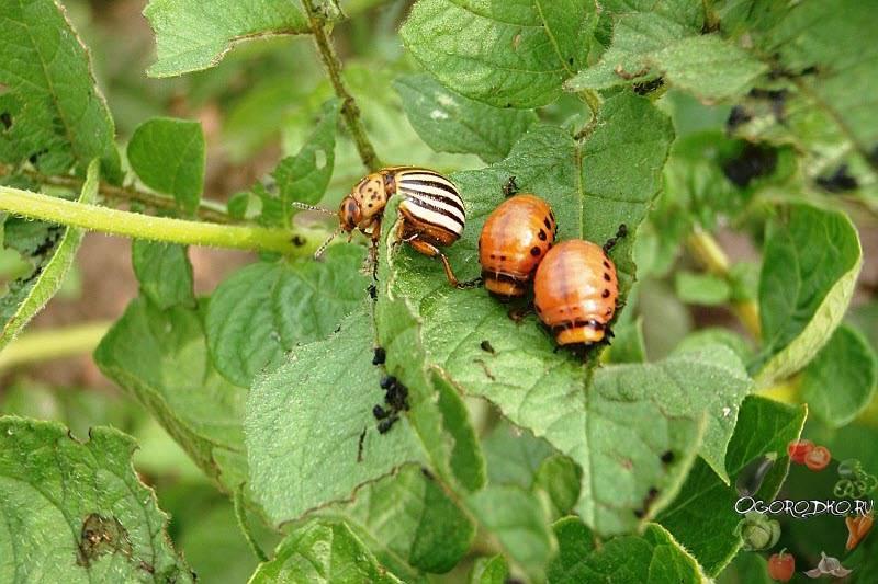Чем обработать помидоры от колорадского жука: химические и народные средства