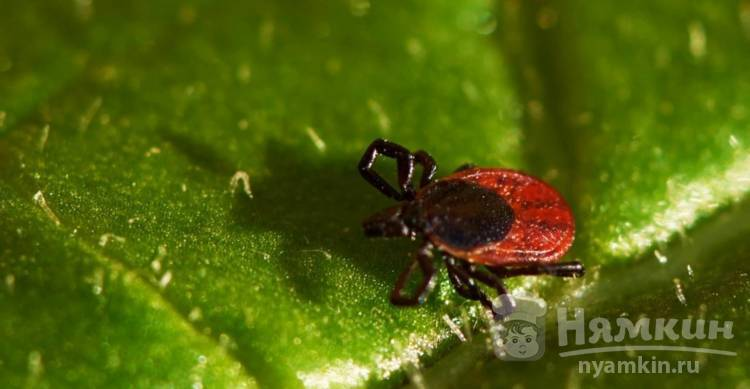 Чем опасны клещи? для чего нужны клещи в природе: значение, польза и вред болезни, вызванные клещами