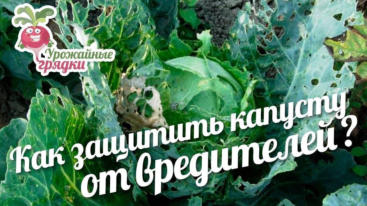 Какими народными средствами обработать капусту от гусениц