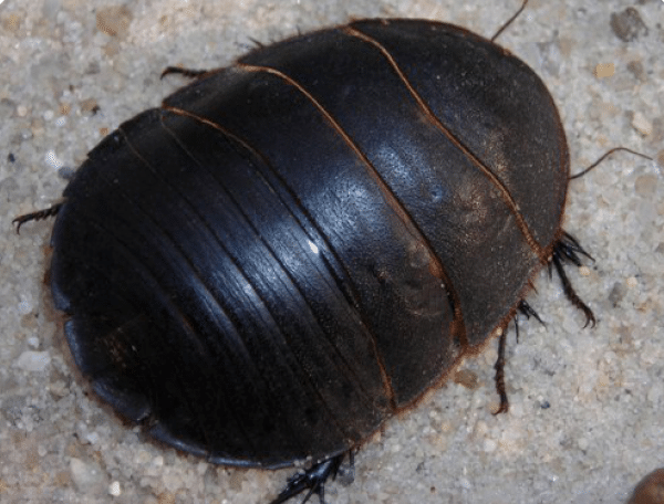 Как выглядит таракан. разновидности тараканов, образ жизни, среда обитания и поведение. основные синантропные виды тараканов