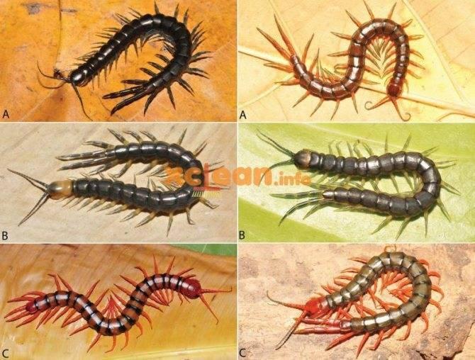 Многоножки крыма – сколопендры, кивсяки, мухоловки