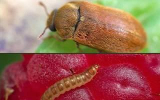 Боремся с личинками майского жука