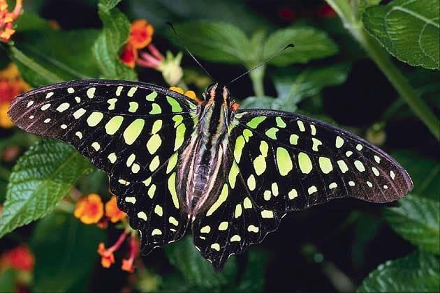 """Американская бабочка – """"встречайте"""" нового садового вредителя"""