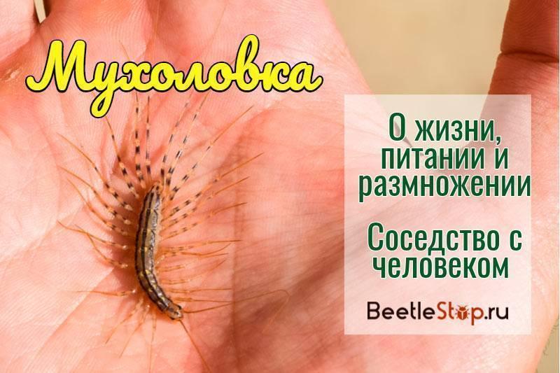 Насекомое мухоловка: кто оно и чем может навредить человеку?