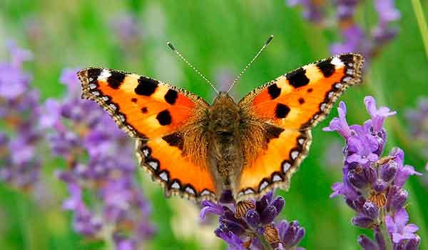 Жизненный цикл бабочки капустницы