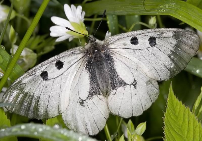Определитель бабочек и гусениц – распознаем вредных и полезных насекомых